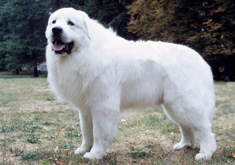 great pyrenees breed information