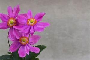 Wann Wird Lavendel Geschnitten : anemone schneiden wann und wie wird 39 s gemacht ~ Lizthompson.info Haus und Dekorationen