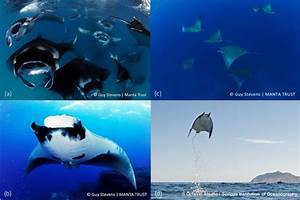 Images Of Devil And Manta Rays   A  Reef Manta Ray  Manta Alfredi    B