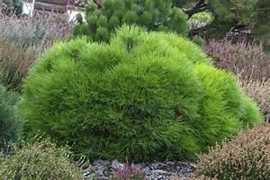 Kugelbäume Immergrün Winterhart : immergr ner kugelbaum eine auswahl der sch nsten ~ Watch28wear.com Haus und Dekorationen