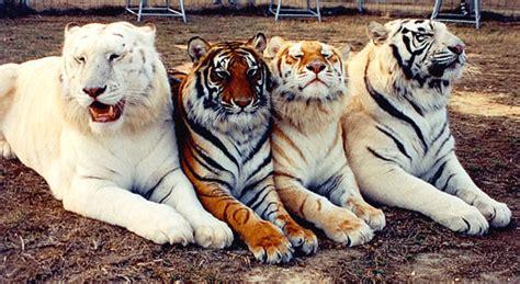 Lince Fiera Golden Tiger Taringa