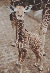 baby giraffe on Tumblr