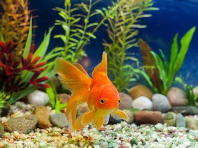 fische kleines aquarium die beliebtesten aquarium fische hagebau de