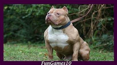 Pitbull Dog Wallpapers Dogs Iphone Apkpure Apk