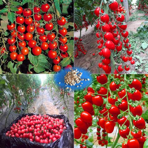 200 tomato seeds heirloom sweet gardening seeds