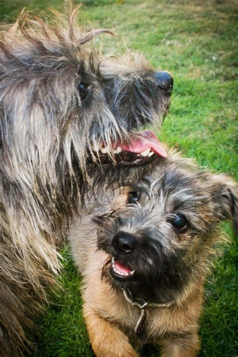 Cairn Terrier Shed Hair by 17 Best Images About Rat Dogs On
