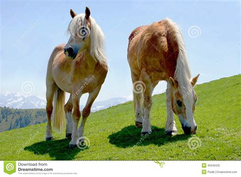 grazing proud peaceful horses two standing juicy meadow alps grass