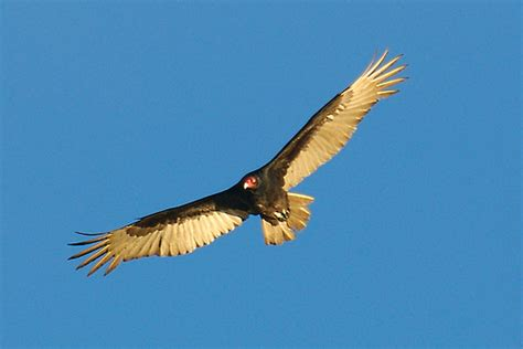 turkey vulture wingspan flickr photo sharing