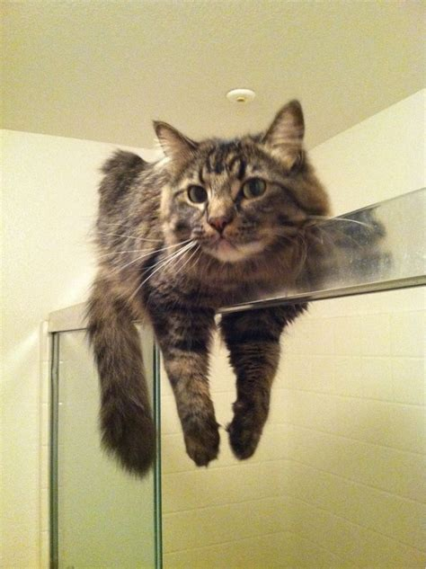 Can You Shower A Cat - it s a cat thing you can t understand animals