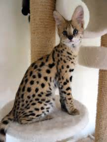 serval cat price the spotted serval cat from africa cat in