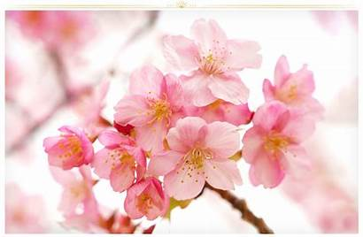 Flower Flowers Blossom Cherry Proflowers Backgrounds Types