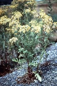 Important Poisonous Plants Of Australia