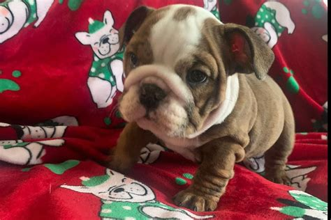 true english bulldogs bulldog puppies  sale born