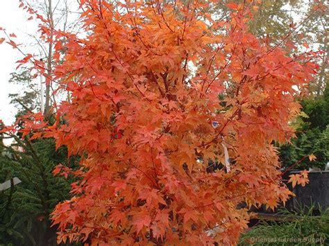 orange japanese maple acer palmatum winter flame oriental garden supply llc