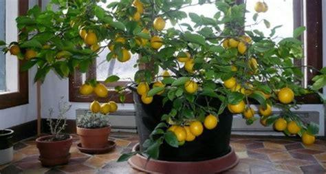 comment faire pousser un citronnier avec une graine chez