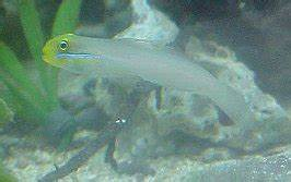 Saltwater Goby Index