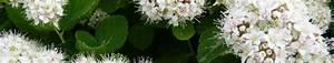Rankpflanzen Winterhart Immergrün : birkenbl ttriger spierstrauch bodendecker ratgeber ~ A.2002-acura-tl-radio.info Haus und Dekorationen