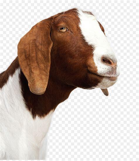 goat cheese sheep baby goats alpaca goat