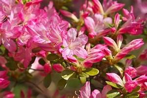 Azalea: pianta da interno o esterno? PolliceGreen