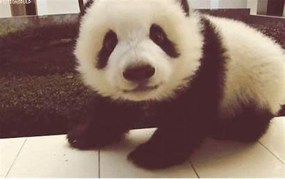 Panda Bear Animated Gift Gifs Pandas Favim