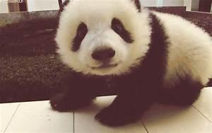 panda, bear, gift, animated, cute - animated gif #551985 ...