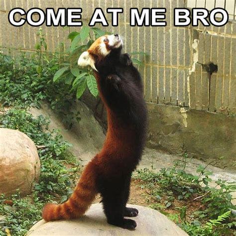 Red Panda Meme - red panda quotes quotesgram
