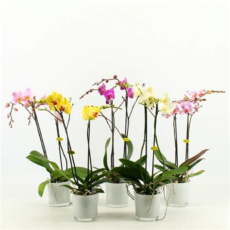 bosjes bloemen verzenden phalaenopsis met glaspot wit thuisbloemist orchidee 235 n