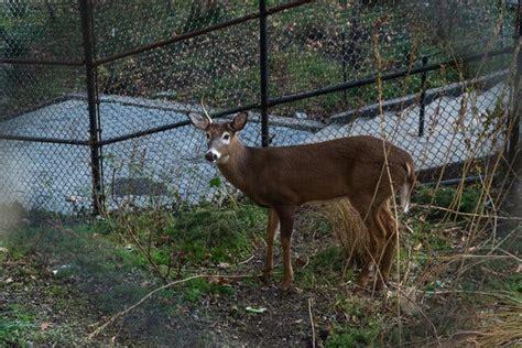 harlem deer caught  city state tussle  died