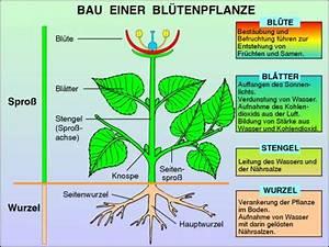 Bau Der Pflanze : transparentsatz bau der bl tenpflanzen ~ Lizthompson.info Haus und Dekorationen