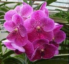 ดอกไม้ประจำชาติอาเซียน: ดอกไม้ประจำชาติสิงคโปร์