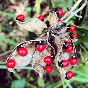 Are Rosary Peas Poisonous
