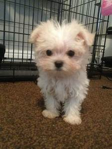 maltese mix puppy | Related Pictures chihuahua maltese mix ...