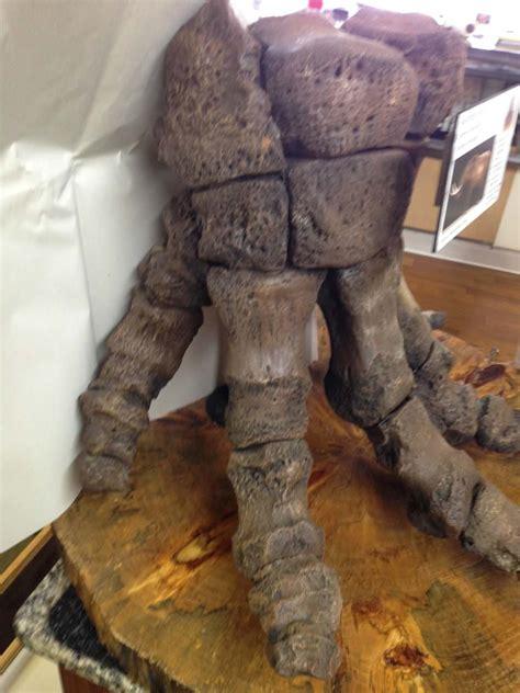 mastodon foot composite fossil bone fossils artifacts