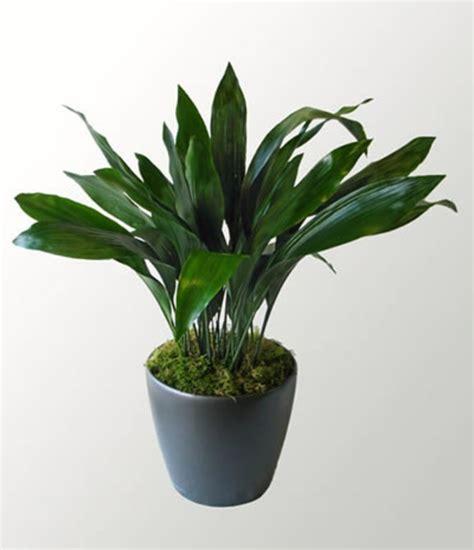 Zimmerpflanzen Die Wenig Licht Benötigen by Zimmerpflanzen Die Wenig Licht Brauchen