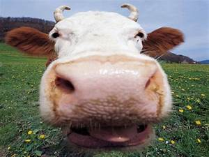 Cute Funny Animalz: Funny Cow New Pictures