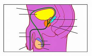 30 Blank Male Reproductive System Diagram
