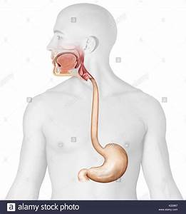 Anatomy Upper Digestive Stock Photos  U0026 Anatomy Upper