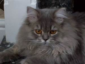 Lilac Colourpoint Persian x Blue Tortie Maine Coon ...