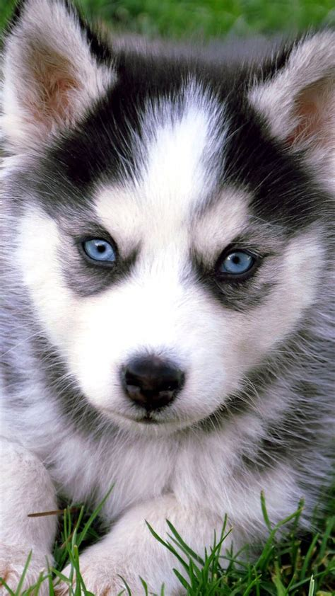 Hd Animal Iphone Wallpapers - husky puppies with blue iphone wallpaper hd