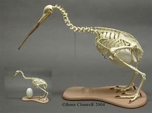 Apteryx australis-The Brown Kiwi (as well as all Kiwis ...