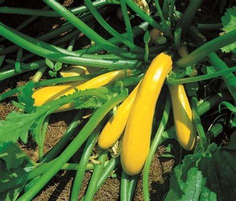 Golden Zucchini Seeds