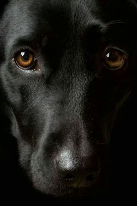 love black labs soo  lovely big brown eyes dog