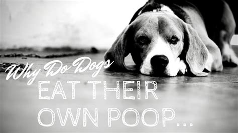 Why Do Dogs Eat Their Own Stool - why do dogs eat from other animals or their own