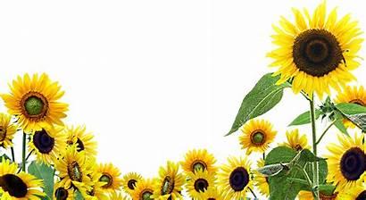 Sunflower Field Common Clip Desktop Oil Transparent
