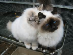 birman cats for birman kittens dereham norfolk pets4homes