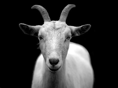 Goat Animal Horns Black And · Free Photo On Pixabay