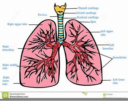 Anatomia Polmoni Schema Poumons Anatomie Dei Plan