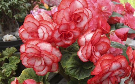 wallpaper begonia flowers red flowerbed
