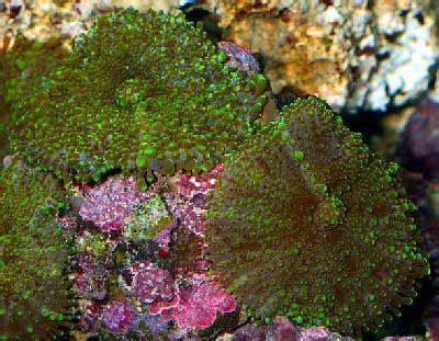 green metallic mushroom actinodiscus malaccensis