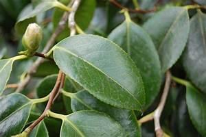 Camellia Japonica Winterhart : japanese camellia landscape architect 39 s pages ~ Eleganceandgraceweddings.com Haus und Dekorationen